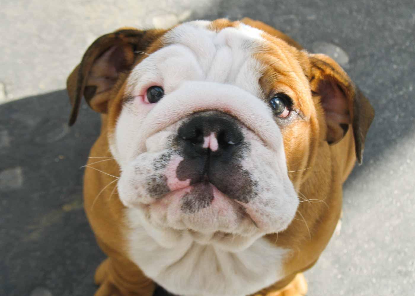 A bulldog puppy.